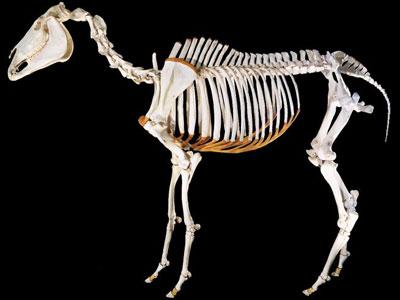 pharlap-bones